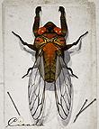 Cicada by: The AntFarm, 3D Models by Daz 3D