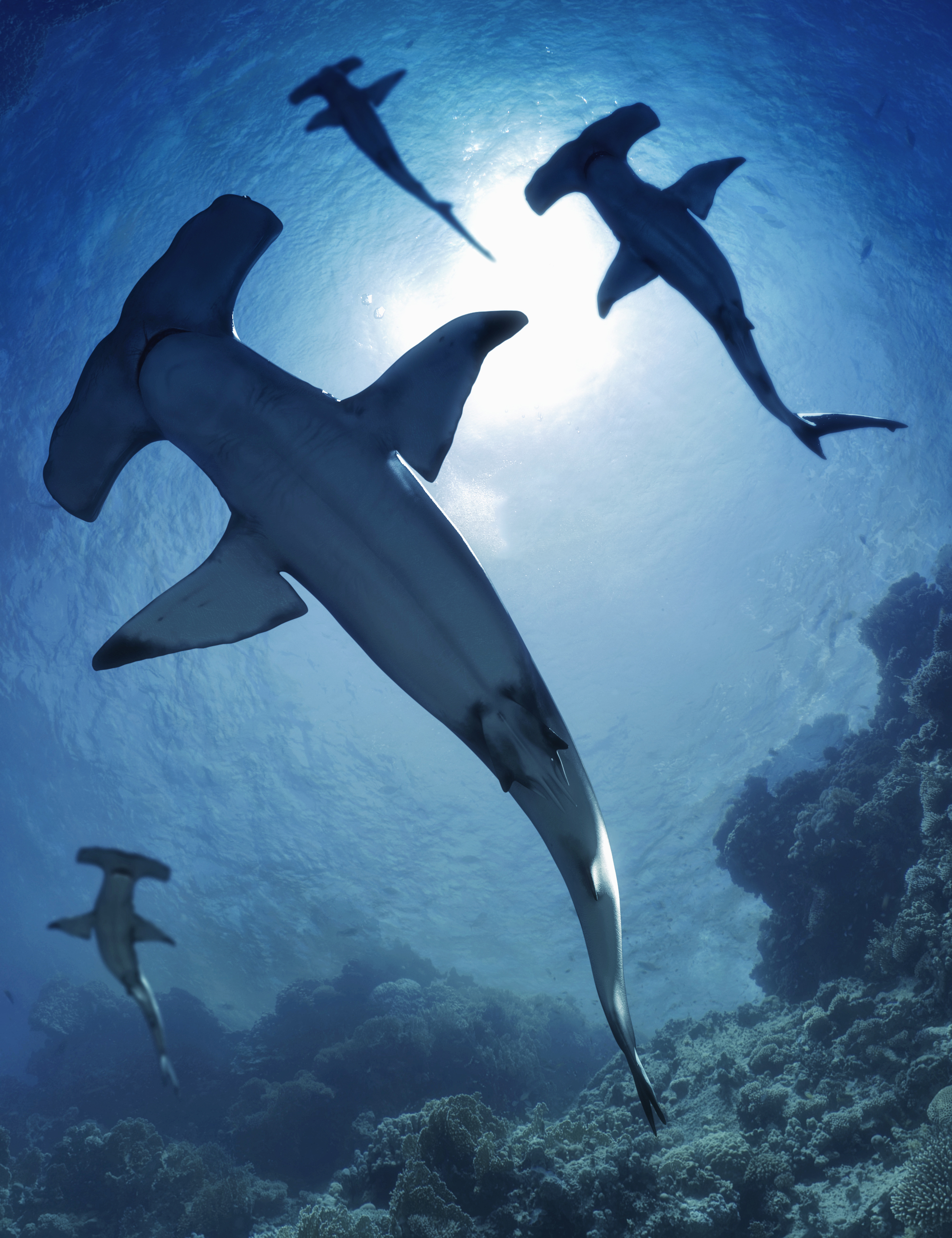 Sharks by AM: Hammerhead by: Alessandro_AM, 3D Models by Daz 3D