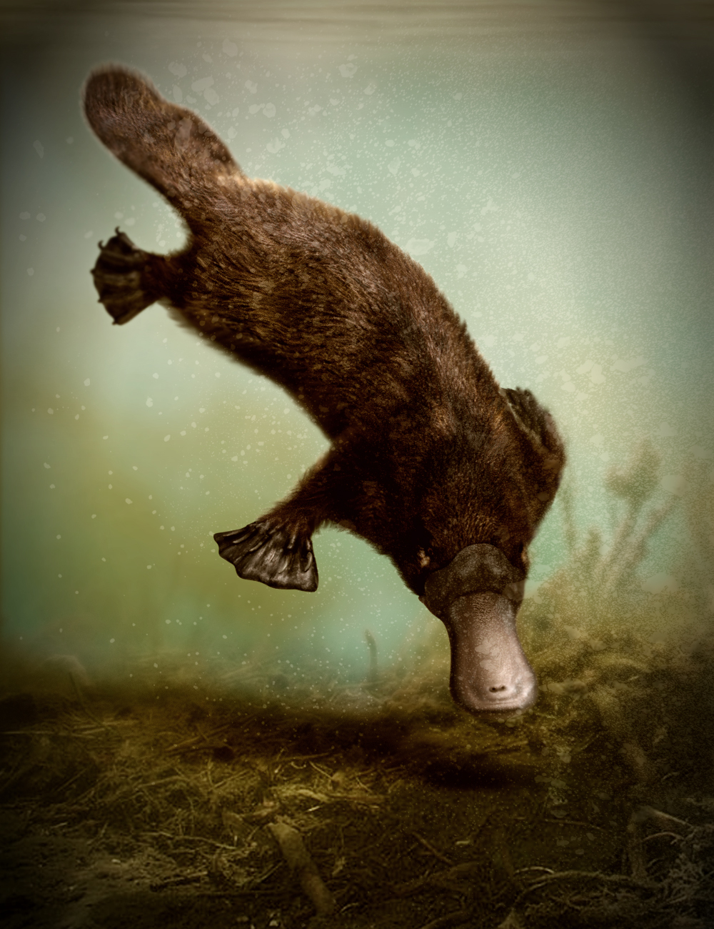 Platypus by AM by: Alessandro_AM, 3D Models by Daz 3D