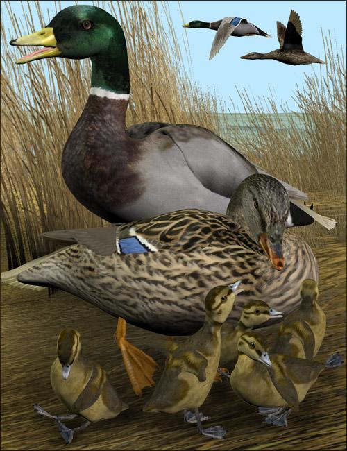 Noggin's Duck- Mallard by: noggin, 3D Models by Daz 3D